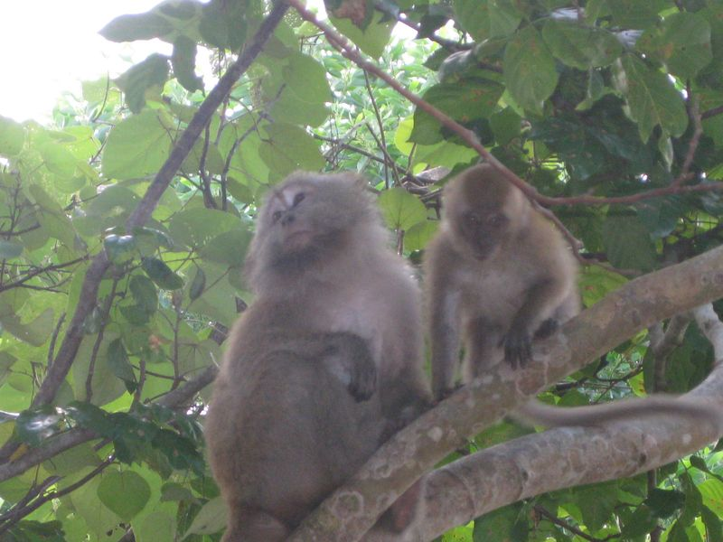 Monkeys in tree nr ABC
